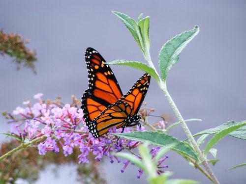 butterfly photo wallpaper