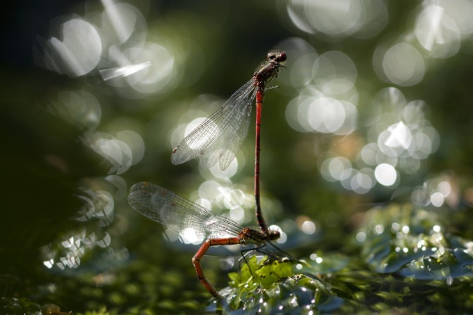 Damselflies and bokeh