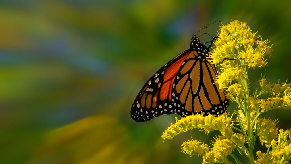 Zoom Monarch Butterfly HD Wallpaper