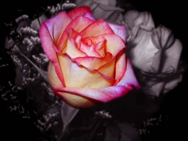 pretty-rose