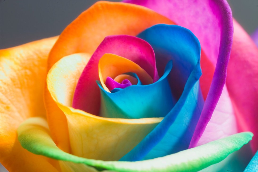 the perfect rainbow rose