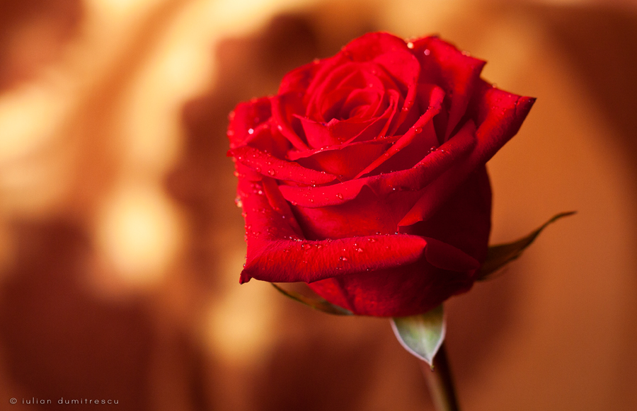 amazing-red-rose-flower-picture