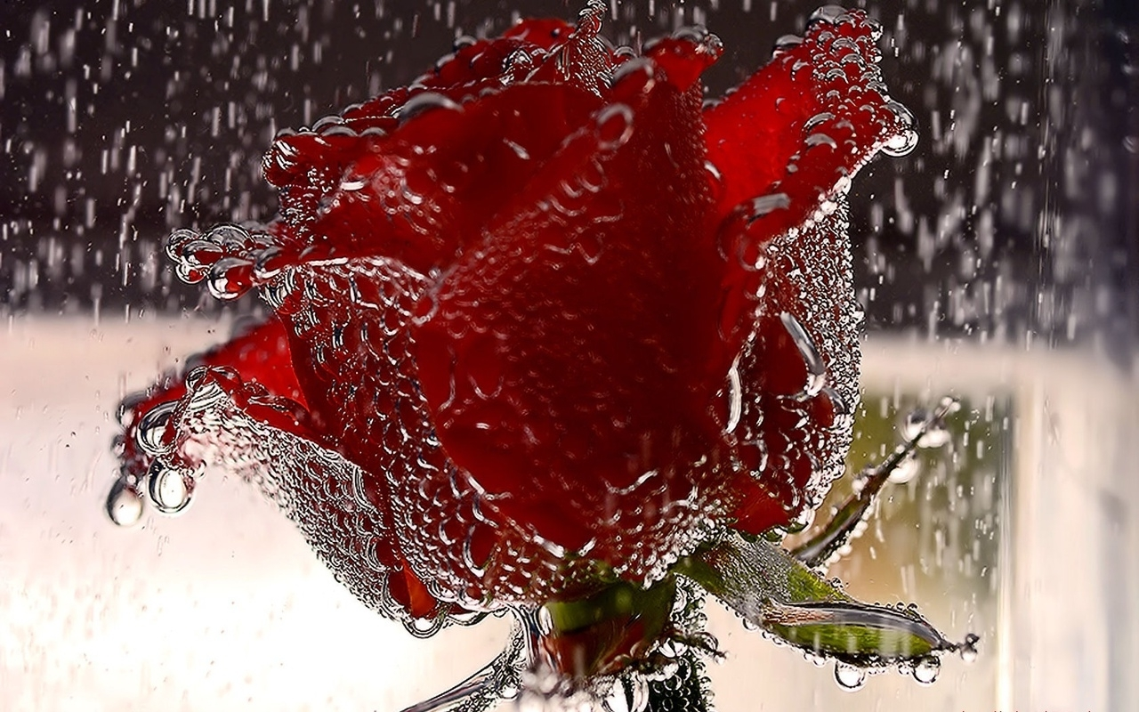 rainy-red-rose-picture