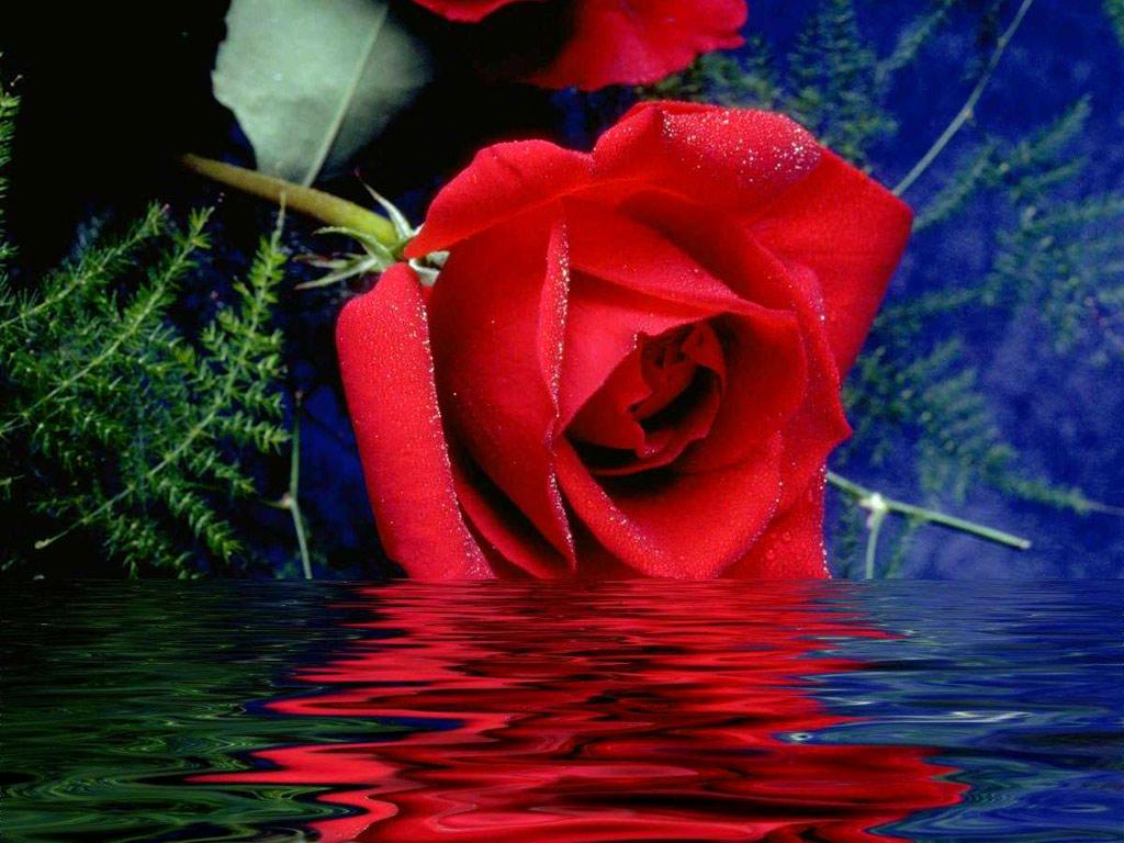 sea-rose