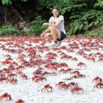 Christmas Island's Red Crabs