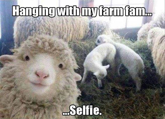 funny goat face picture with caption