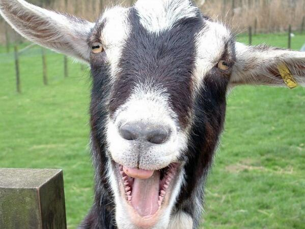 funny goat screaming photo