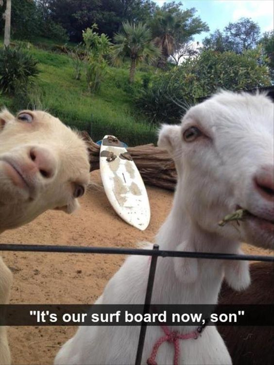 funny looking goats