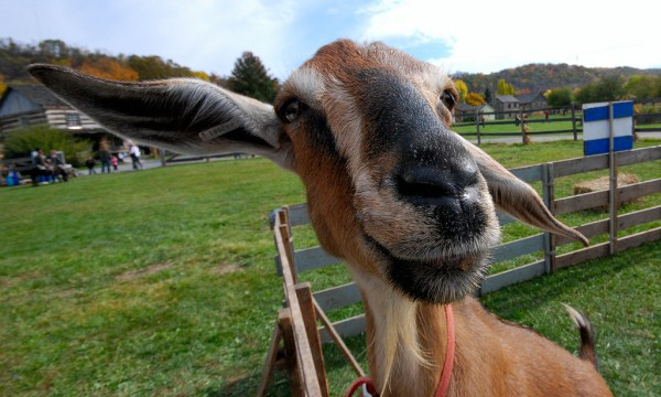 goat funny face photos