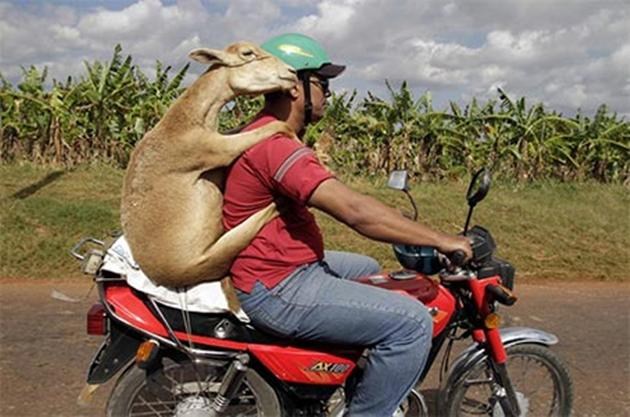share funny goat riding on bike with man