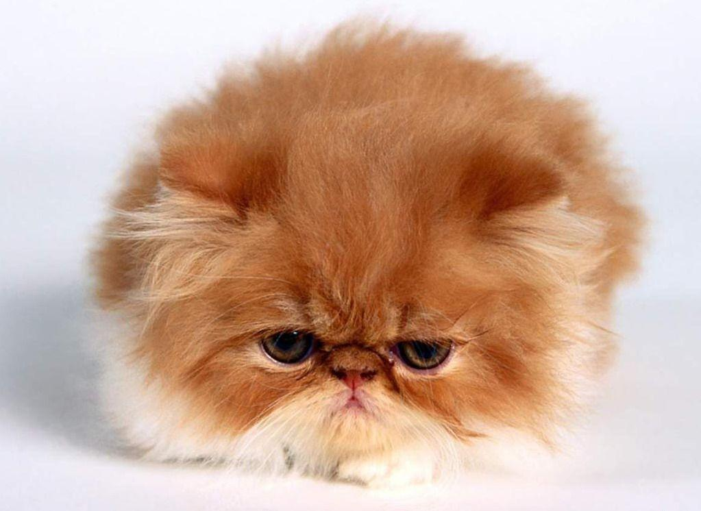 funny fluffy 3d cat picture