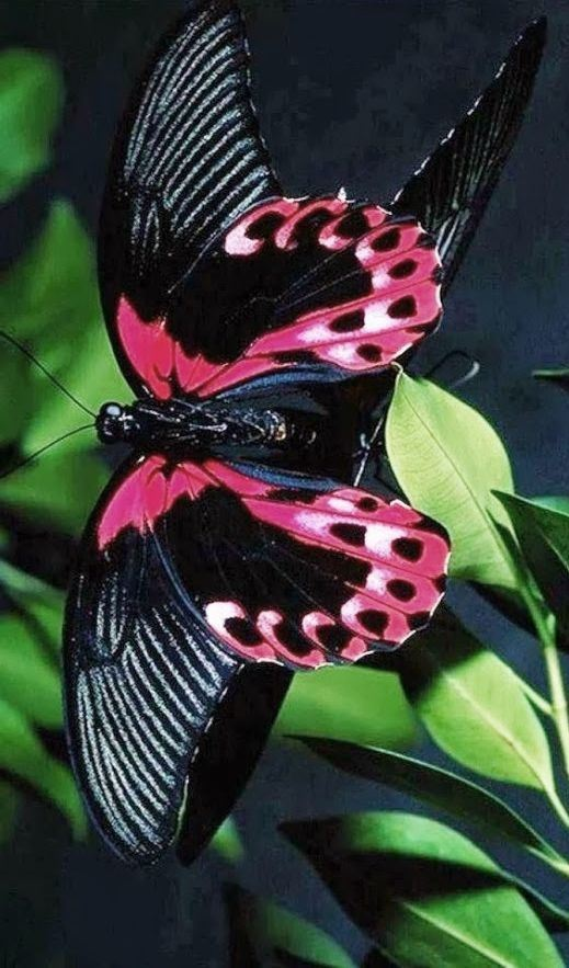 black and pink morpho butterfly