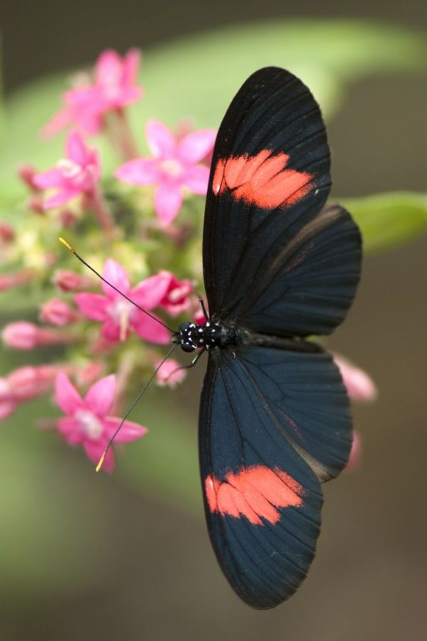 heliconius grey with neon orange