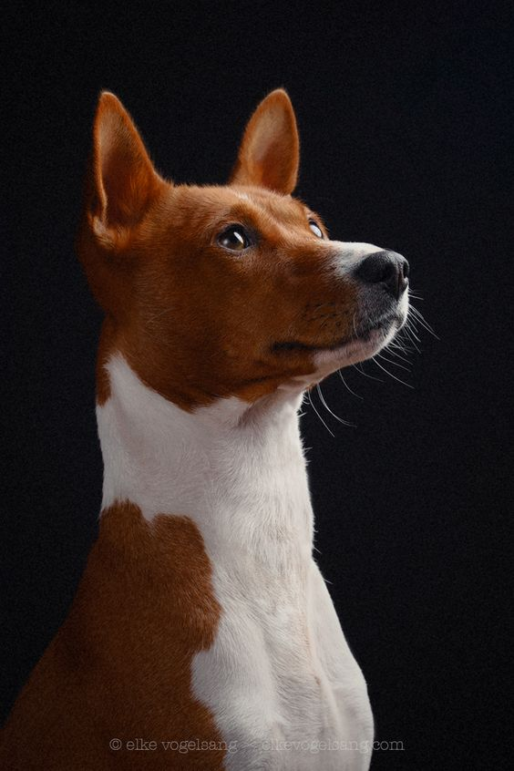 10-basenji dumbest dog breed in the world