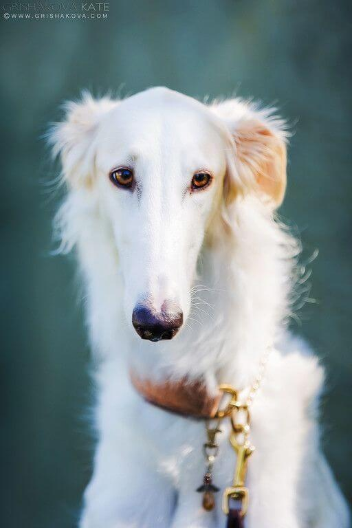 5-borzoi dumbest dog breed in the world