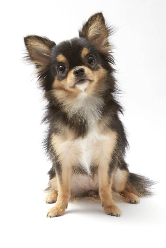 12-chihuahua dumbest dog breed in the world