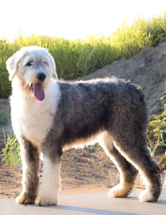 16-english sheepdog dumbest dog breed in the world