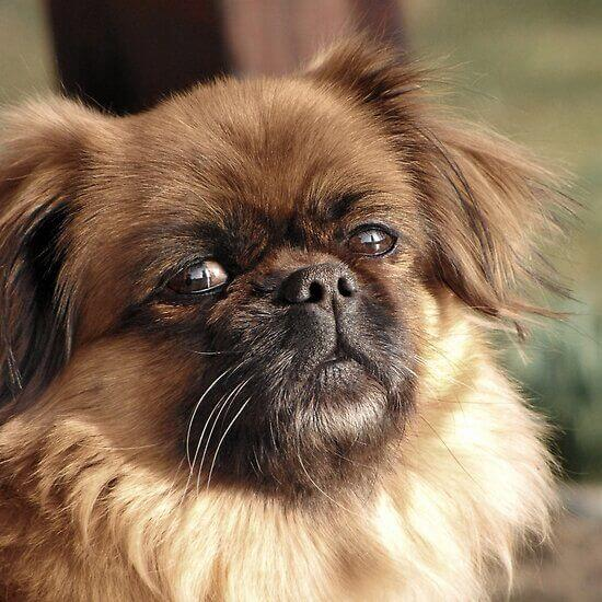 6-pekingese dumbest dog breed in the world