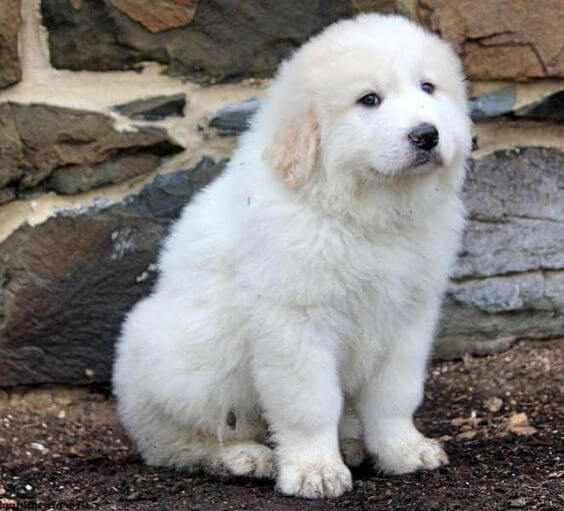 17-pyrenees dumbest dog breed in the world